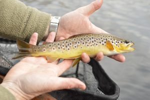 Donegal Trout