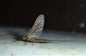 Lake Olive Fly